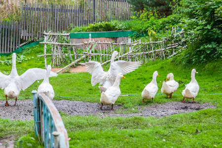 White ducks and geese on a farm yard in the countryside, against the backdrop of a makeshift corral made of birch branches, graze with their wings spread. Farming natural bird.