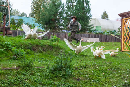 A man farmer in a special suit and a straw hat, smiling and having fun, runs after a flock of white geese and ducks that spread their wings and try to take off.