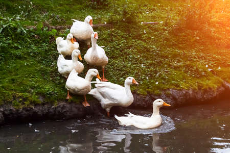 A group of white geese and ducks with yellow beaks and paws are marching in formation into the pond, following the leader on a summer day, going down the green grass. Archivio Fotografico