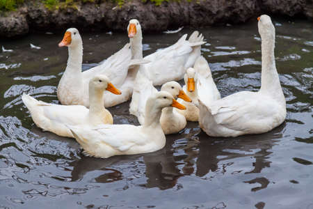 A flock of white geese and ducks huddled on the water in a pond bred on the farm for homemade meat and feathers for sale.