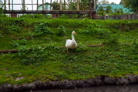 One white domestic goose with an orange beak descends to the pond over the green grass raised in the summer on the farm for meat and feathers for sale.