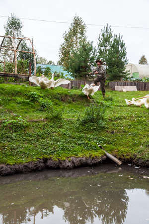 A male farmer in a protective suit and hat smiles and claps his hands while driving white geese and ducks into a pond against a background of green grass in a rustic farm yard. Archivio Fotografico