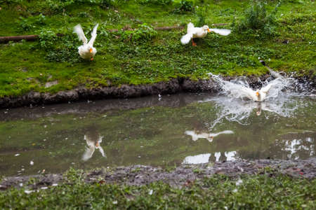 White geese with yellow beaks run to the pond with their wings spread and plunge into the water on a summer day against the backdrop of a green field. Archivio Fotografico