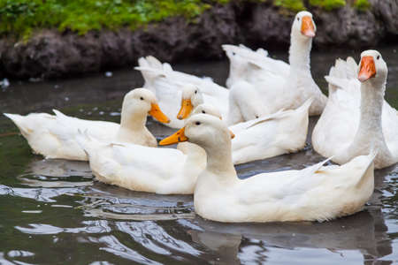A close-up of a flock of white geese and ducks with orange beaks huddled on the water in a pond on a farm for meat. Domestic bird.