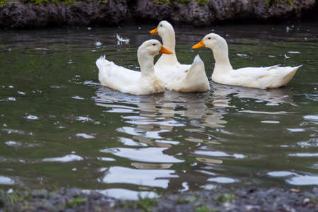 Three domestic white ducks swim in a lake with bright orange beaks on a summer day with feathers on the water. Archivio Fotografico
