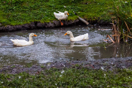 Three white ducks with orange beaks and paws floating in an artificial pond with muddy water on a summer day at a farm yard.