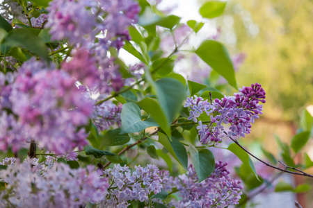 A lilac-green bush with purple flowers close-up with lush lilac buds. Beauty background or wallpaper for a magazine or banner for a fragrance or perfume.