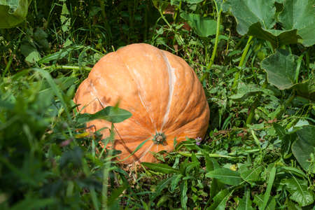 Large round orange pumpkin in large green leaves of a bush in the garden in the fall or farm before harvest. The main attribute of the American holiday is Halloween.