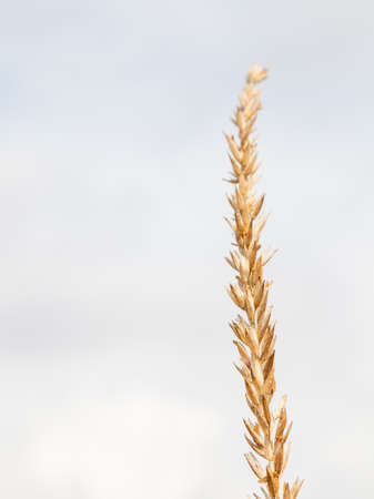 A dry ear on a stem with many cells of grains of a yellow crop plant alone against a white sky on an autumn day before harvest. 写真素材