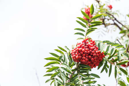 Rowan tree with bright red bunches of berries on branches with green long jagged leaves in an autumn day in the garden. Background for notebooks, calendars and posts. 写真素材