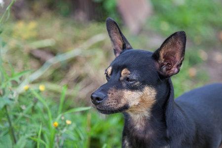 Toy-Terrier; outdoors; mini; pinscher; dwarf; summer; green; grass; black; brown; puppy; walk; male; nobody; eye; stand; watching; pincher; pet; dog; miniature; animal; mammal; domestic; cute; canine; 写真素材