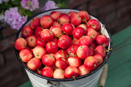 Close-up of a full bucket of ripe red small Ranetka apples against the backdrop of garden flowers, harvested in the fall in the village for making jam or juice.
