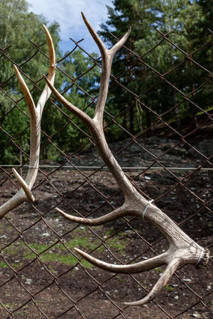 White deer antlers hang on the fence after the seasonal molt.