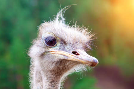 Close-up on the head of a large wild ostrich bird with large eyes, a sharp beak and looks like a terrible creature. Stock fotó