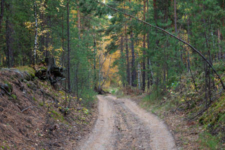 Picturesque landscape in a Siberian forest with coniferous trees and a dirt road on a warm autumn day. picture or wallpaper.