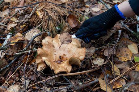 Close-up on the hand of a man with a knife cutting off a large mushroom with a beige cap hidden among the autumn leaves and spruce needles fallen from the trees. Food and mushroom picking.