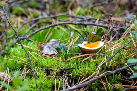 A close-up of a yellow small mushroom hidden among the autumn leaves and spruce needles fallen from the trees. Food and mushroom picking. Foto de archivo