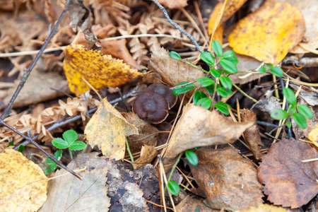 Close-up on a small brown mushroom hidden among yellow autumn leaves on the ground in the forest. Food and mushroom picking hobbies. Foto de archivo