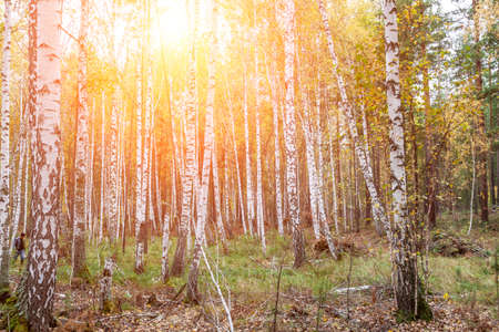 Birch forest with white trunks and yellow leaves before falling leaves in autumn. scenic landscape for wallpaper or background Stok Fotoğraf