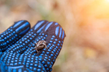 small gray tree frog sits on human arm in black glove. wildlife and nature.