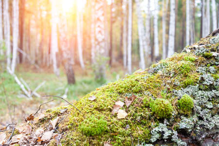 Birch forest with salted moss on the trees on a warm summer day. A picturesque landscape with a lot of trees. Stok Fotoğraf