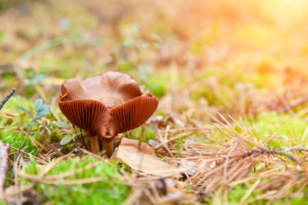 A close-up of a toadstool mushroom with a beige cap hidden among the autumn leaves and spruce needles fallen from the trees. Food and mushroom picking. poisonous and harmful mushrooms
