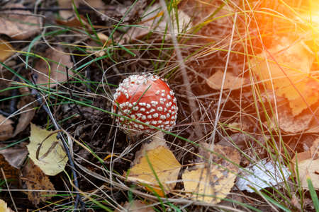A close-up of a fly agaric amanita mushroom with a white cap hidden among the autumn leaves and spruce needles fallen from the trees. Food and mushroom picking. poisonous and harmful mushrooms