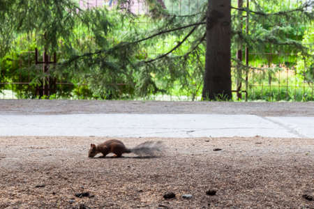 Red squirrel perched on a tree stump eating a hazelnut with a green background.