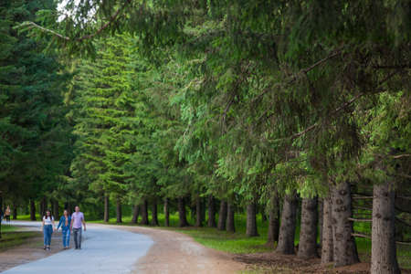 Novosibirsk, Russia - 21.06.21: Botanical garden with large beautiful spruce trees and a walking path