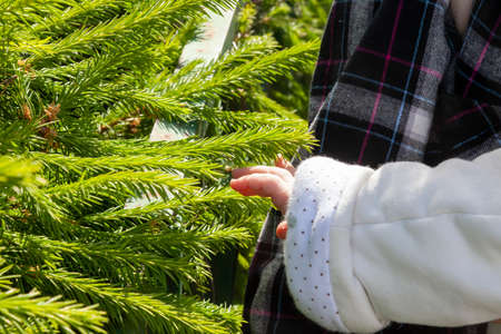 The child touches a sprig of spruce with young shoots. Happy curious little boy touching the needles on spruce at the christmas tree market for winter holidays