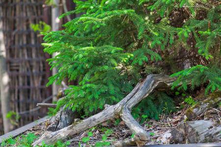 Christmas Fir tree brunch textured Background. Fluffy pine tree brunch close up. Green spruce Christmas Fir tree brunch textured Background. Fluffy pine tree brunch close up. Green spruce fir needle. Stok Fotoğraf