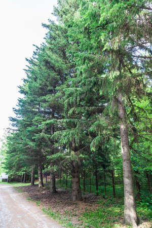 Botanical garden with large beautiful spruce trees and a walking path