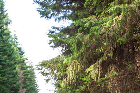 branches of coniferous trees in a green forest on a warm summer day.