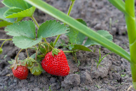 Industrial cultivation of strawberries plant. Bush with ripe red fruits strawberry in summer garden bed. Natural growing of berries on farm. Eco healthy organic food horticulture concept background