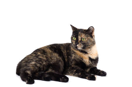 tortoiseshell: Tortoiseshell cat isolated on a white background