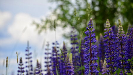 lupines: Lupines, bright wild flowers, green background