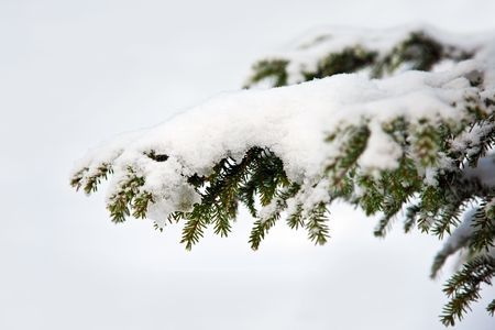 Spruce twig in the snow-white against a blue background Stock Photo