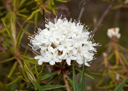 flower ledum (Ledum) in vivo