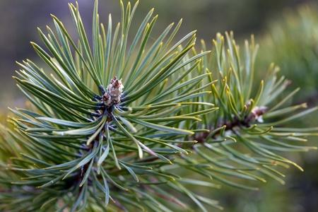 vivo: Pine branch in vivo. Macro Stock Photo