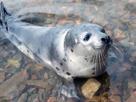 zeehonden: Belek babyzadelrob in de Witte Zee. Kloof Kandalaksja