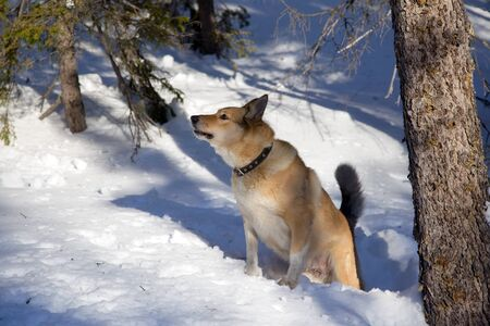 Hunting dog  Winter  Bear Hunt Stock Photo - 12653254