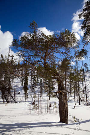 An unusual pine tree in winter forest  against the blue sky and clouds