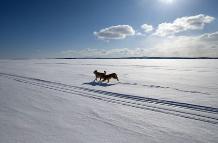 Two dogs running around the endless snow-covered field  in bright sunlight photo