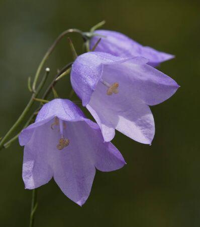 bellflower: Flowers Bellflower  bell  close-up in vivo