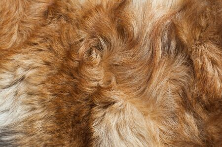 Dog fur close-up  red, yellow, gray, white color   Stock Photo