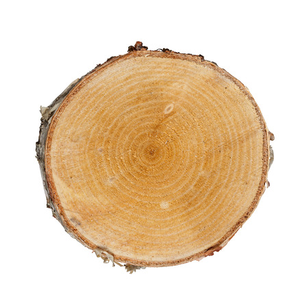 Tree cut birch isolated on white background