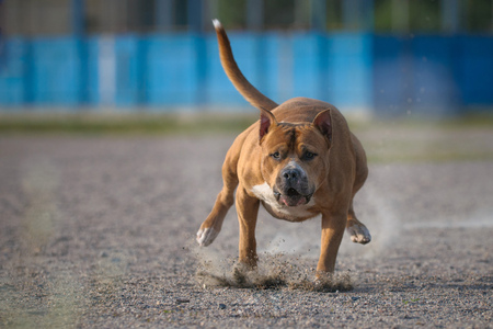 american staffordshire terrier: The American Staffordshire Terrier running