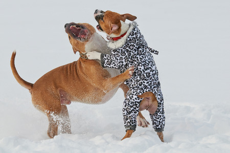 perros jugando: Two dogs playing and dancing in snow