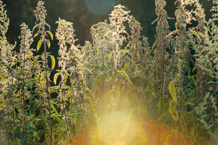 urtica dioica: Nettle (Urtica dioica) - plant against the light in the sunset