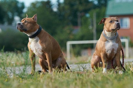 staffordshire: Couple of American Staffordshire terriers